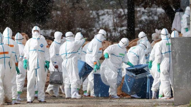 Culling-in-Japan-Bird-Flu