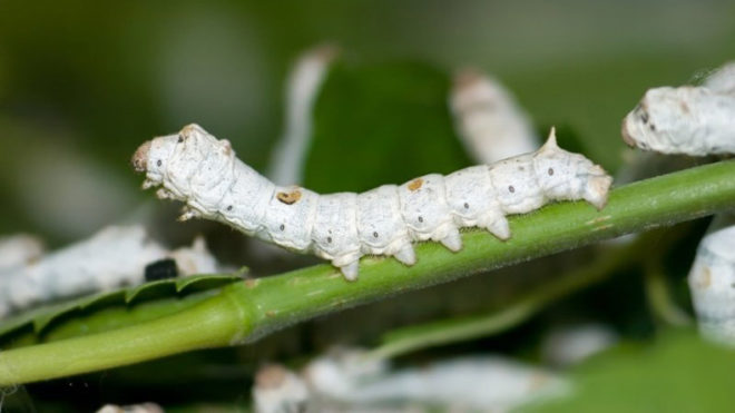 Australian researchers use silkworms to repair damaged eardrums