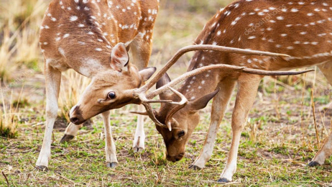 First time in seven years, rutting calls of deer heard in Bandhavgarh, MP