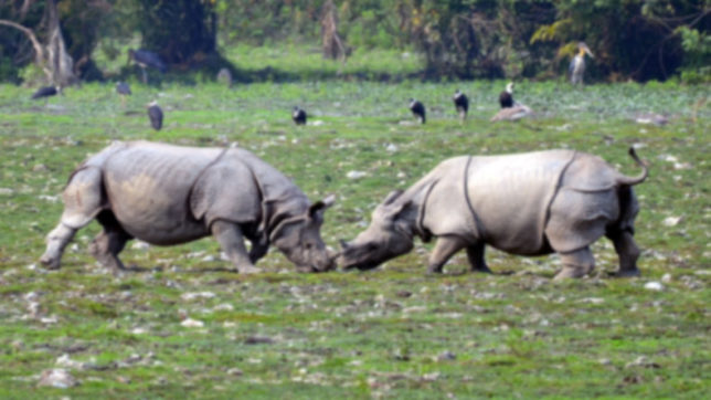 Rhinoceros at Kaziranga National Park. (File Photo: IANS)