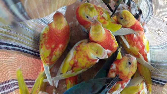 Bengal: BSF recovers 43 Australian turquoise parakeets worth Rs 14.62 lakh