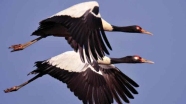 Tibetan Black-necked crane faces a survival threat in the wake of excessive mining