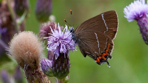 Rare butterfly spotted in Scotland after 133 years