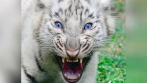 Animal attack: Two white tiger cubs maul zoo keeper to death in Bengaluru