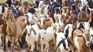 thieves, fraud, uttar pradesh, kanpur, kanpur goats, bakrid, dog sold as goat in kanpur