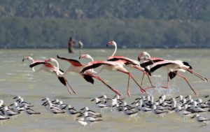 Pong Dam, Himachal Pradesh, Pong wetlands, greater flamingo, bird watching, Beas river, Shivalik foothills, Kangra, bird sanctuary