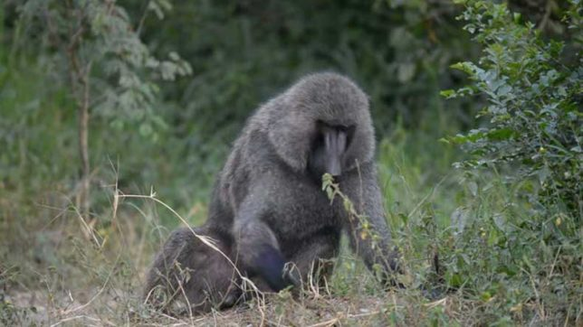 African village terrorised by gay baboon who recently raped 5 men