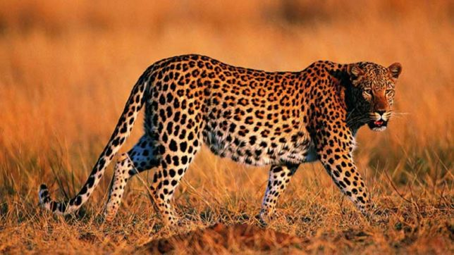 Straying leopard raids village in Tanzania, attacks 3