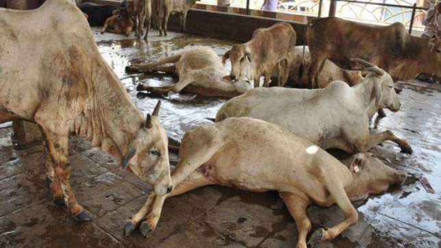 Madhya Pradesh: Amid surging vigilantism, 1300 cows dead in 4 months at cow shelter in Gwalior