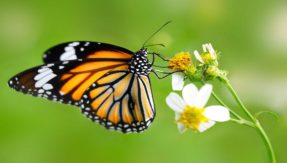 Butterflies origin pushed back in time, says Study