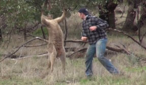 Shocking! Man punches a kangaroo in the face to rescue his dog