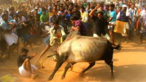 Tamil Nadu: 19-year-old spectator gored to death during Jallikattu festival in Madurai