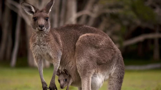 Kangaroo stoned to death after it fails to amuse visitors in Chinese zoo!