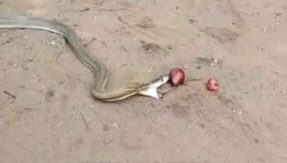 Odisha: Super-poisonous cobra can't handle onions, chucks up 11 onions after swallowing