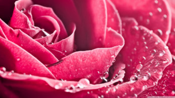 Download Happy Rose Day 2019 stickers, Download Happy Rose Day wallpapers, Download Happy Rose Day images, Download Happy Rose Day photos for WhatsApp, Download Happy Rose Day wallpapers for Facebook, Download Happy Rose Day wallpapers for Instagram, Download Happy Rose Day wallpapers for Lovers