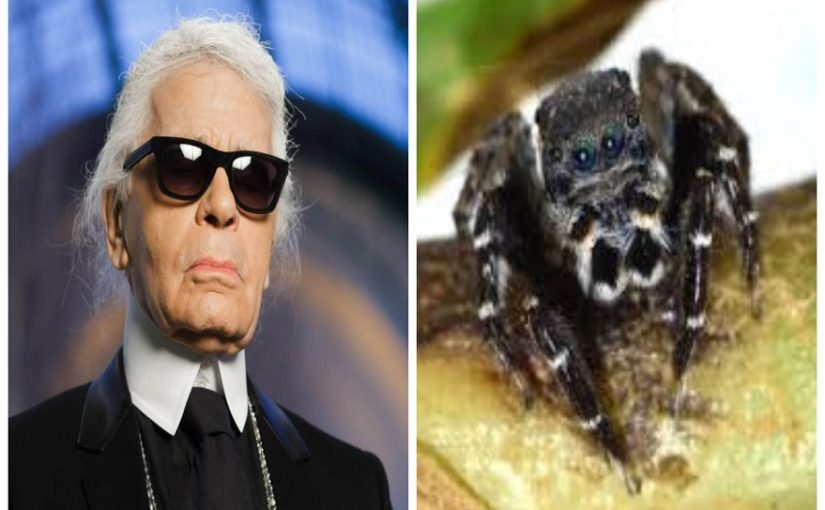 New species of jumping spider named after Karl Lagerfeld